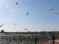 【你好,春天】岛城早春碧海蓝天 海鸥翔集