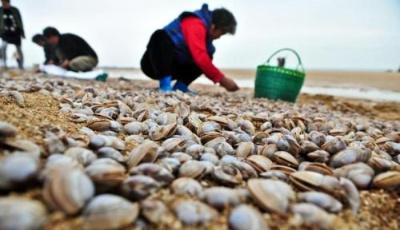期待!第十五屆青島紅島蛤蜊節4月29日開幕