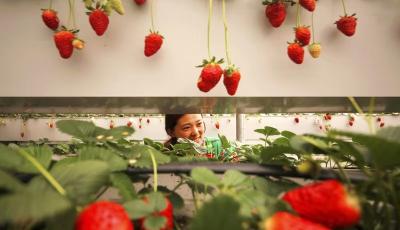 """摘草莓、住民宿、赏民俗、逛大集 """"爱上北宅·慢悠游""""冬趣活动开场啦"""