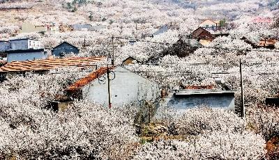 """满山遍""""雪""""樱桃花开 樱桃有望大丰收"""