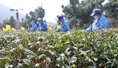 今年崂山春茶有望增产三成   时隔六年再现明前茶