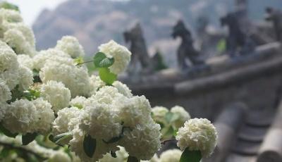 嶗山景區內百年流蘇進入盛花期
