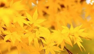 节气 | 秋分迎丰收 莱西大梨飘香岛城