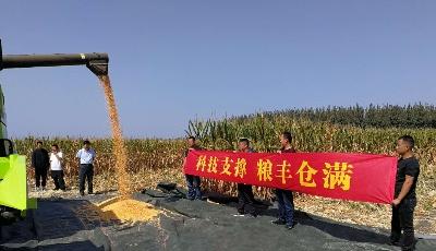 实测亩产达817.2公斤!青岛市籽粒直收型玉米首次进行实收测产