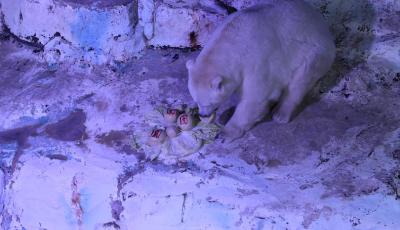 动物也来闹元宵 北极熊吃8.8斤巨型元宵庆团圆