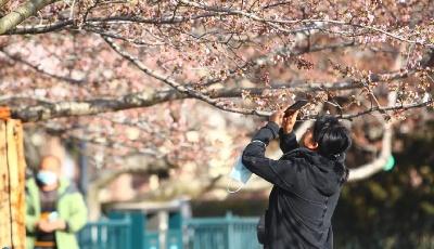 """树龄70年!青岛中山公园里有株""""樱花之王"""""""