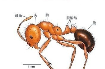 红火蚁位列全球最危险入侵物种,已传播至10余省份