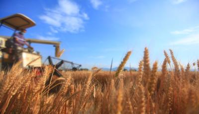 山東今年夏糧再獲豐收 總產單產雙創歷史新高